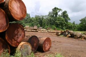 Die Urwaldriesen der Regewälder werden zu Spanplatten für Billigmöbel verarbeitet.
