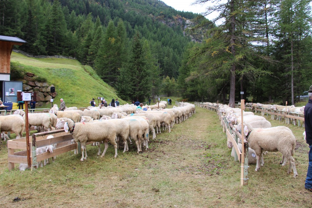 Die Schafe auf dem Weg ins Tal