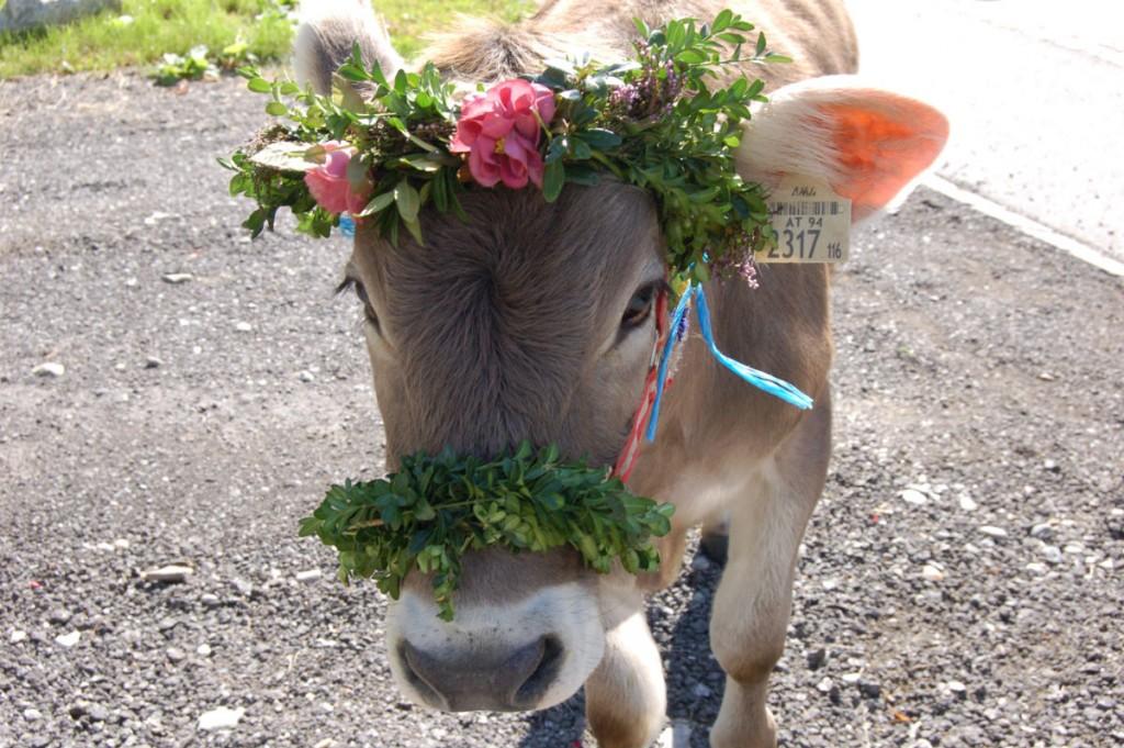 """Die Kühe sehen ganz """"fesch"""" aus und der Viehscheid kommt mir bunt und fröhlich vor."""
