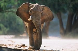 Elefant in seiner eigentlich natürlichen Umgebung