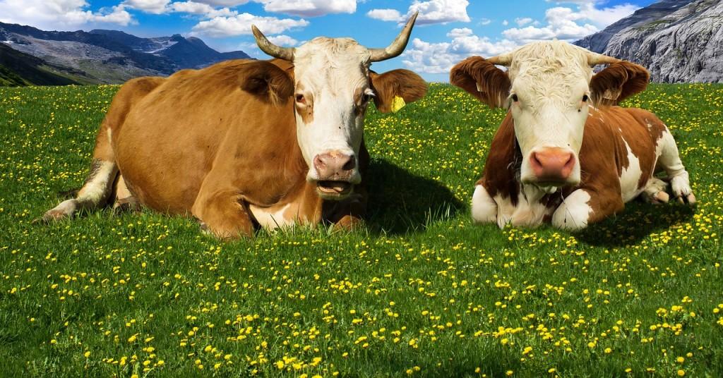 Wegen den wilden Kühen sind schöne Wanderungen heute zum Alptraum geworden